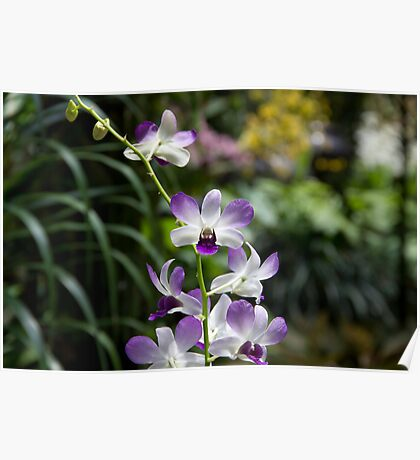 Purple orchid flower inside the National Orchid Garden in Singapore Poster
