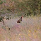Francolin calling by Antionette