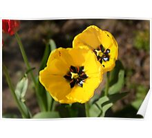 A couple of bright yellow tulip flowers Poster