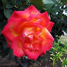 San Diego Rose by Anne Guimond