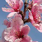 Peach Blossoms by Paul Sturdivant