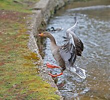 Greylag goose by Keith Larby