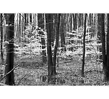Young Beech Trees Black n White  Photographic Print