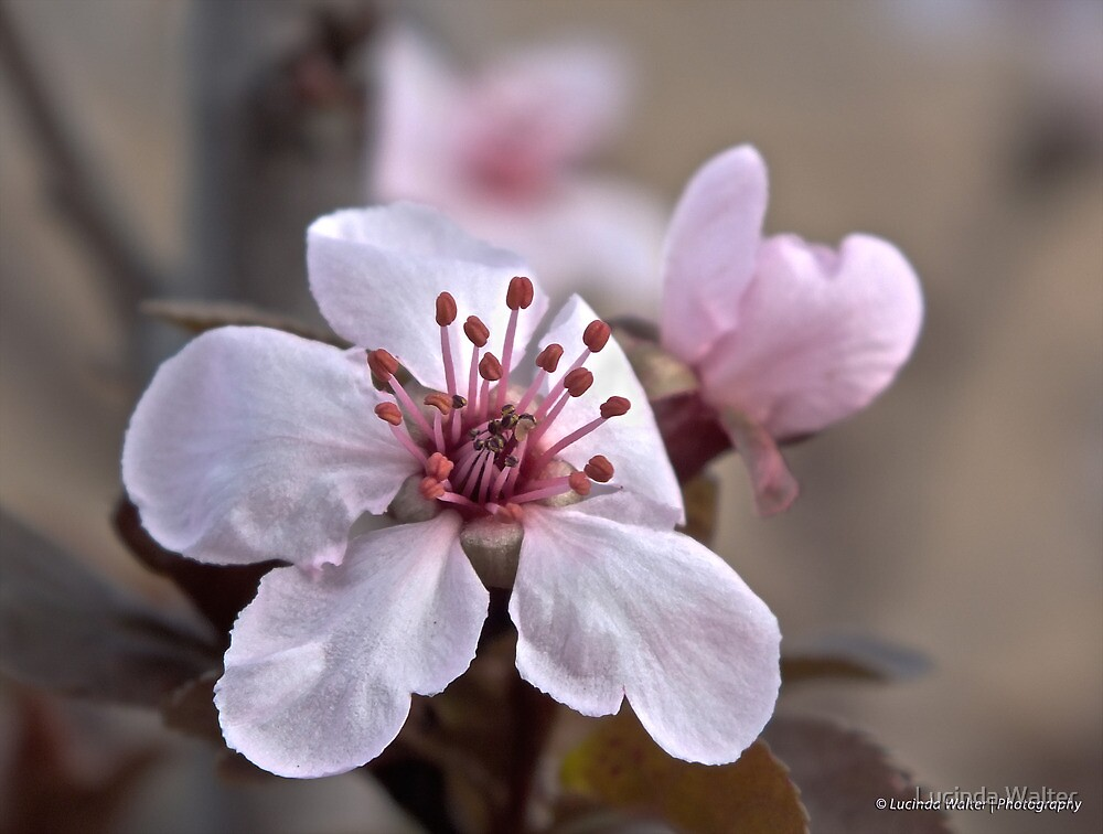 Blossom Time by Lucinda Walter