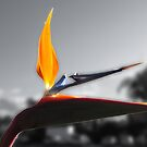 Bird of Paradise from California by Anne Guimond