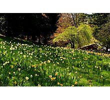 Daffodil Hill Photographic Print
