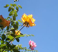 Orange Rose - Two - 21 03 13 by Robert Phillips