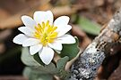 Blood Root Lily by NatureGreeting Cards ©ccwri