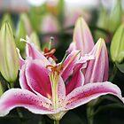 Lilium genus by pixsellpix