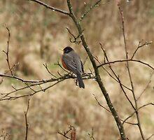 Spring Robin by cielleigh