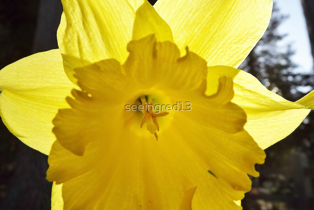 A Sunny Yellow Daffodil for Friendship! by seeingred13