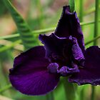 Purple Iris by Carol Bailey White