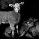 Sheltering Lambs by melek0197