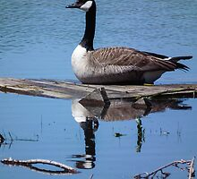 Canada Goose on Floating Board by Deb Fedeler
