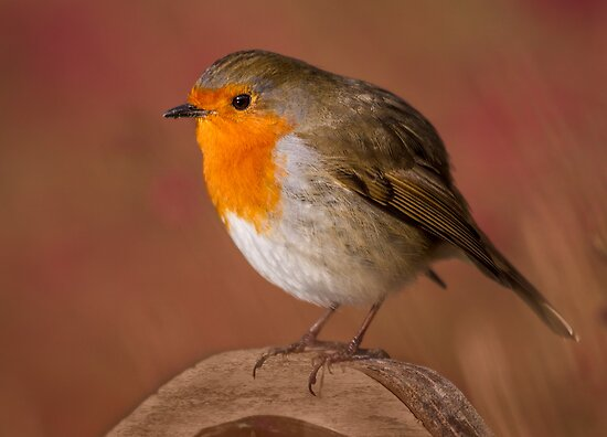 Red Robin by Patricia Jacobs CPAGB LRPS BPE4