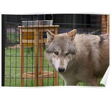 Behind the Fence With A Grey Wolf Poster