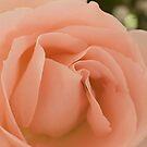 Peach Rose by gharris
