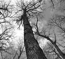 Tall Trees in Spring 6 Black and White by marybedy
