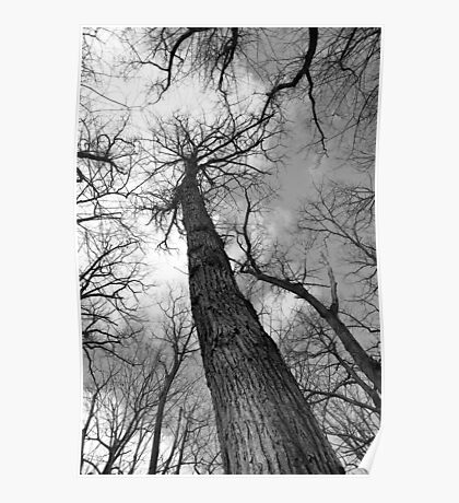 Tall Trees in Spring 6 Black and White Poster