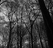 Tall Trees in Spring 18 Black and White by marybedy