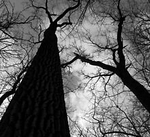 Tall Trees in Spring Black and White by marybedy