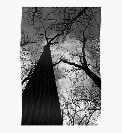 Tall Trees in Spring Black and White Poster