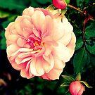 Rose - Pink by Evita