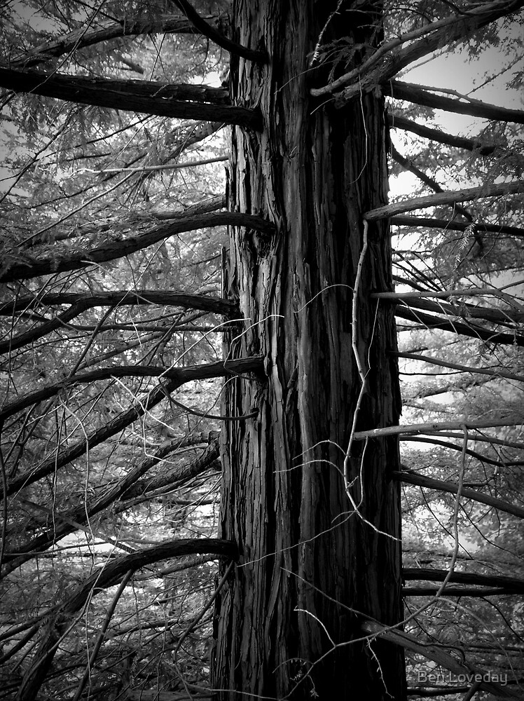 Scary Tree- Sequoia- Mount Lofty Botanic Gardens. by Ben Loveday