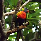 Lorikeet not arguing by Paul Todd
