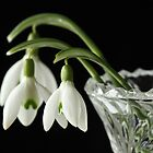 Snow Drops in Vase by Lynn Gedeon