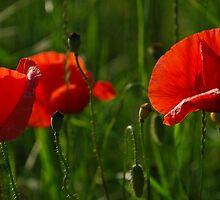 Wild Red Poppies by jojobob