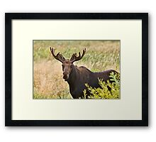 Bull Moose in Saskatchewan Prairie wheat bush close up Framed Print