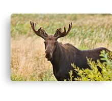Bull Moose in Saskatchewan Prairie wheat bush close up Canvas Print