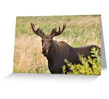 Bull Moose in Saskatchewan Prairie wheat bush close up Greeting Card