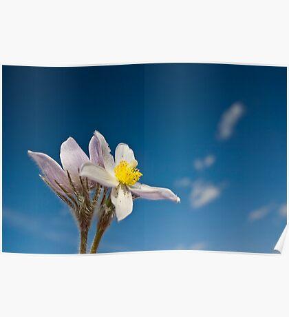 Spring Time Crocus Flower Poster