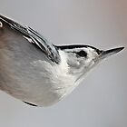White-breasted nuthatch by hummingbirds