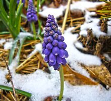 Grape Hyacinth in the Snow by Susan S. Kline