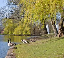 Canada Geese Seen in Hanley Park Stoke on Trent by David Patterson