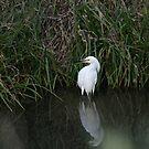 Snowy Egret by Lynn Starner