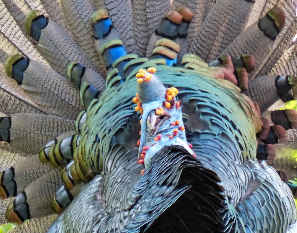 Ocillated Turkey love by Linda Sparks