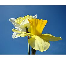 Spring Blue Sky art prints Yellow Daffodils Flowers Photographic Print