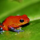 Blue Jeans Poison Dart Frog, Oophaga pumilio by Seth LaGrange
