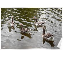 Geese at Stowe gardens Buckinghamshire Poster