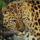 Amur Leopard / Amoerpanter II by Jacqueline van Zetten