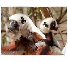 Wild Sifaka (Lemur) and her Baby - Madagascar Poster