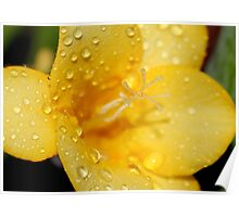 Freesia and Raindrops Poster
