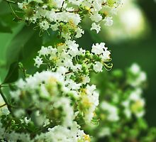 Delicate White Crepe Myrtle Flowers  by Arteffecting