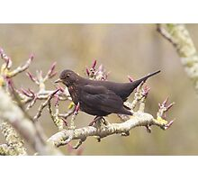 Blackbird.. Photographic Print
