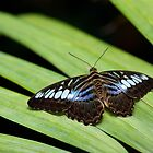 The Clipper (Parthenos sylvia) by Balint Takacs