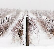 Winter Vineyard by Shelly Lisa Photography